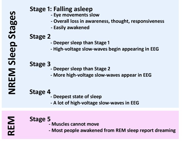 Sleep Stages Explained: How Your Brain Works at Night